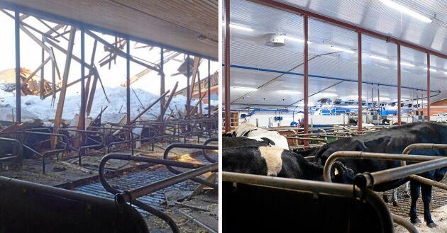 17 fick sätta livet till när taket rasade. Tio månader efter raset har de nya korna har gjort sig hemmastadda, på exakt samma plats.