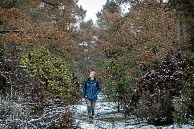 Hos Magnus Wolter, i Bro norr om Visby, är ungefär vara annan tall död på ett område på cirka 100 hektar. På samma marktyp, en bit därifrån, har han gallrat hårt för att återskapa en betesmark. – Och där har träden klarat sig. Kanske beror det på att träden där har haft mindre konkurrens om vatten, resonerar han.