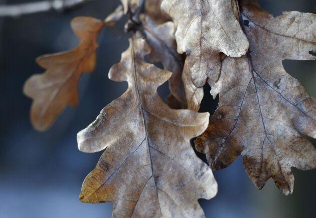 Många ekar ser vissna ut, eftersom den snedstreckade ekstyltmalen verkar ha ett bra år.