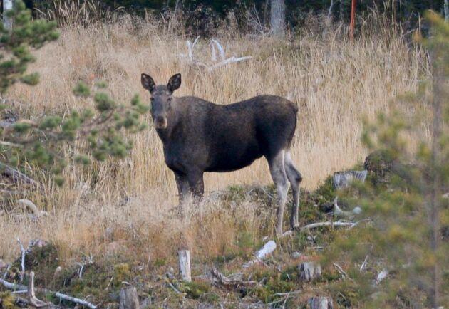 Risken för betesskador måste minskas om Sveriges skogar ska kunna klimatanpassas, enligt en ny rapport från Skogsstyrelsen.