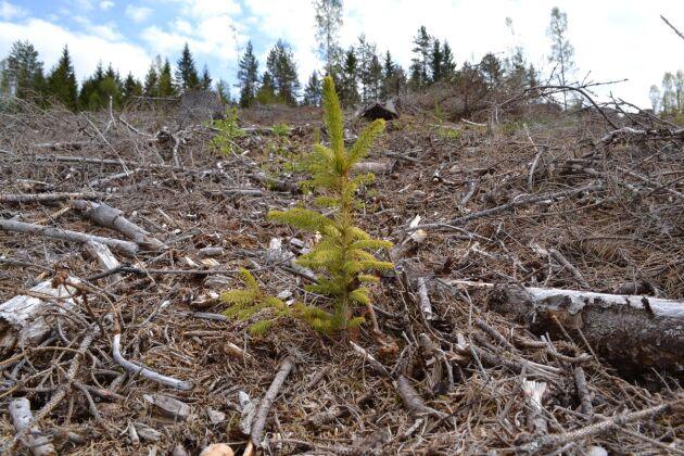 Skogsplanteringar i Värmland har drabbats hårt av torkan.
