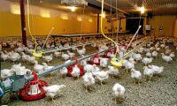Resistenta bakterier hos kycklingar minskar