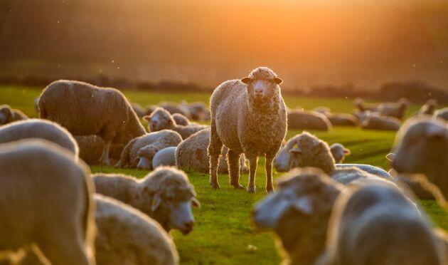 - Vi riktar oss till en intresserad allmänhet, fårägare, förädlare, hantverkare och konsumenter. Intresset för ull är enormt märker vi, säger projektledaren Fia Söderberg i Ullförmedlingen som startar Ullpodden.