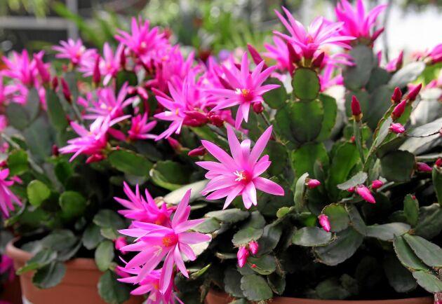 Vårens stjärna. Påskkaktusen blommar vackrast av alla.