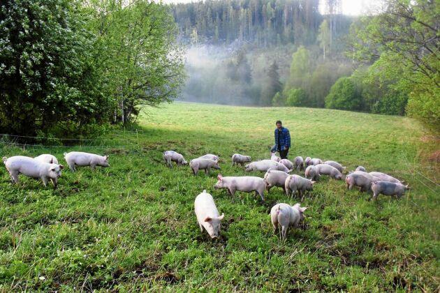 Grisarna på Vänna gård har tillgång till utevistelse året om.