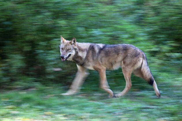 MP:s Rebecka Le Moine har inte funderat på varför vargen utrotades och vägrar tro på de skildringar som finns av hur vargen påverkat tillvaron på landsbygden, skriver Göte Lindgren i en slutreplik.