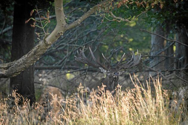 KRONHJORT. Kronhjorten är stor men smälter också väl in i den omgivande skogen.
