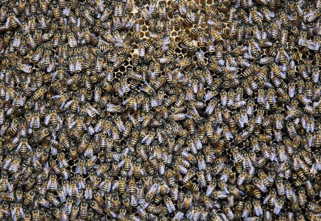 I delar av Tyskland har antalet insekter minskat med 80 procent, enligt Tysklands miljöministerie.
