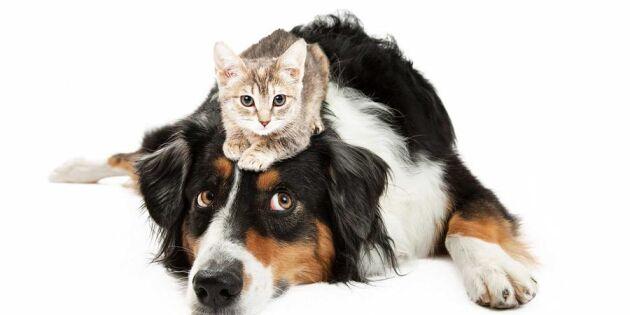 Terapi för hundar som är skraja för katter