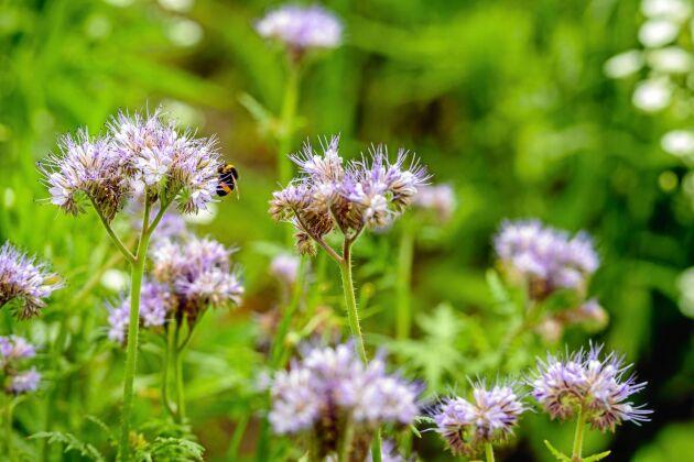 Honungsört ger mat åt både jord och pollinerare.