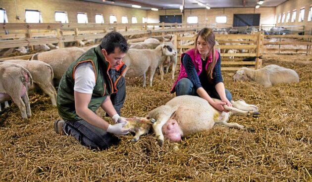 På Tangará farm utanför Hörby driver Maycon Vinborg och Emma Jönsson sitt fåravelsföretag. I avelsarbetet i dag använder de djur av raserna border leicester, texel, gotlandsfår, finull och deras egen swedish mule.