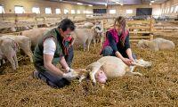 Unik miljonaffär för svenska fårbönder
