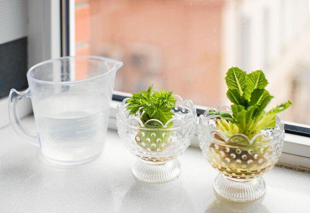 Kapad kruksallad kan sättas i vatten – snart börjar nya salladsblad titta fram.