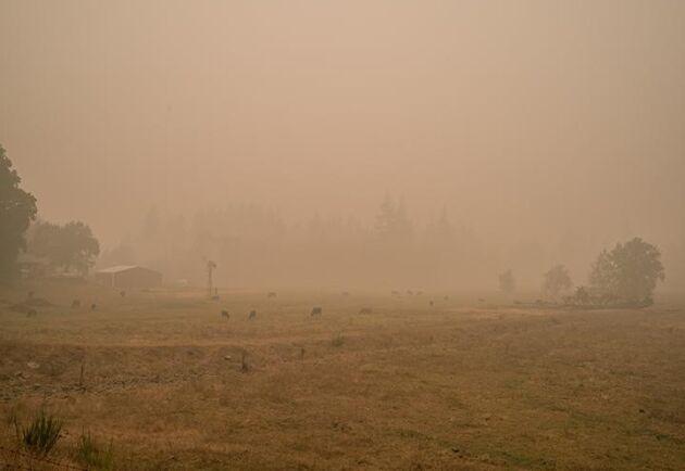 Det är knappt man kan se korna som betar för den tjocka rök som ligger tät vid gården i Mill City, Oregon.