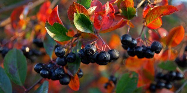 Nygamla superbäret! Odla svart aronia i trädgården