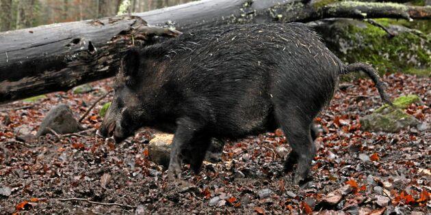 Afrikansk svinpest i Belgien