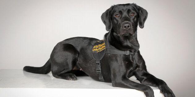 Stella är Sveriges första smärthund – kan varna för smärtattacker