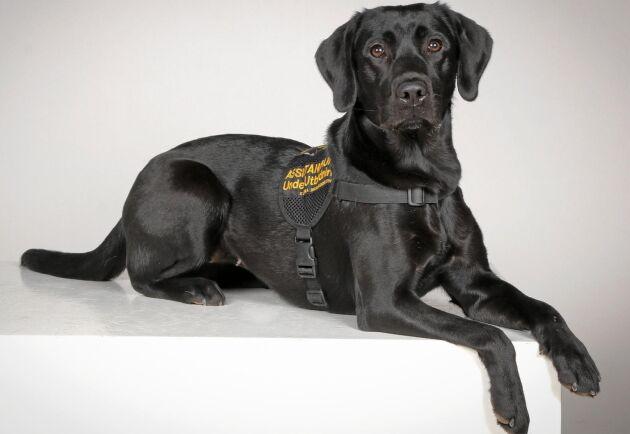 Labradortiken Stella är Sveriges första smärthund. Hennes specialkompetens är att varna sin matte för kommande smärtattacker.