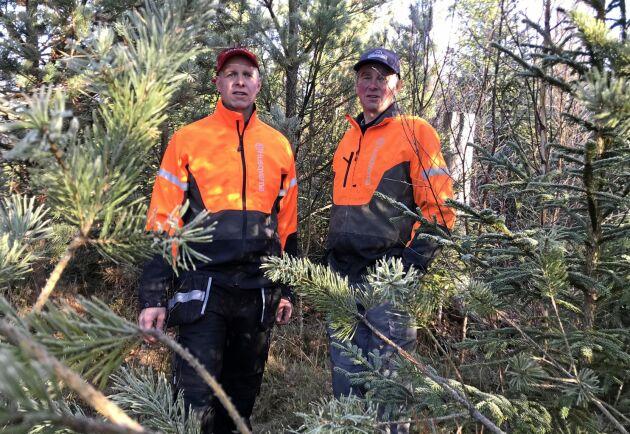 Johan och Jan-Olof Svenssons slit med skogen efter Gudrun har gett resultat.