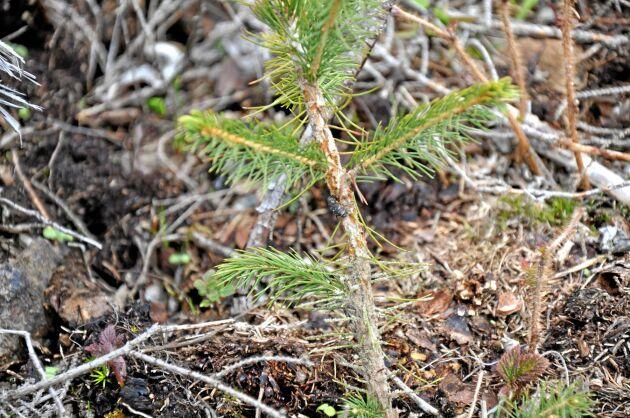 Barrträdsplantor kan drabbas hårt av snytbaggarnas gnag, och insekten anses orsaka svenskt skogsbruk skador värda 100-tals miljoner varje år.