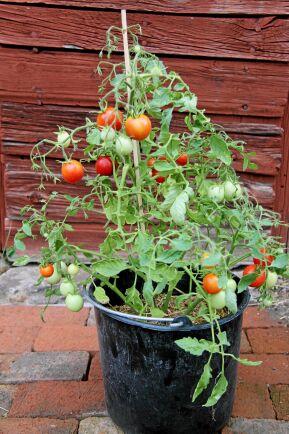 En liten Koraik-tomat i kruka.