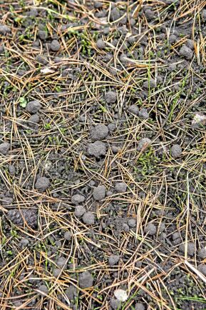 Den härdade askan försvinner snabbt ned i vegetationen och påverkar vegetationen mycket lite.