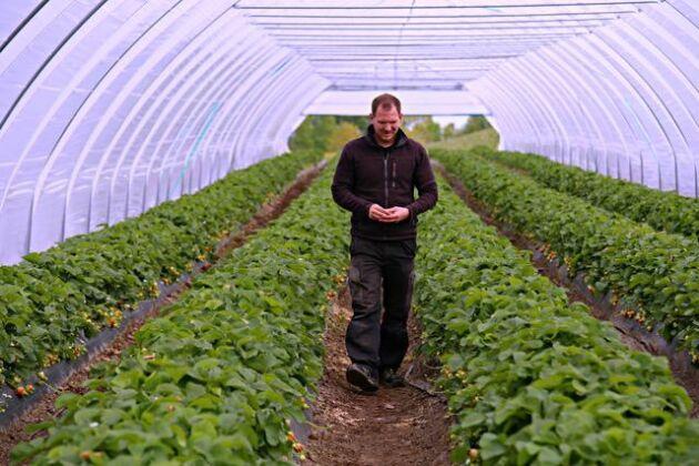 Rickard Bergkvist, jordgubbsodlare på Eriksgården utanför Sjöbo i odlingstunneln som gör att jordgubbssäsongen varar från mitten av maj till oktober.