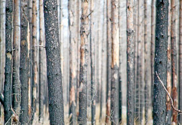 Av septembers avverkningsanmälningar på totalt 35815 hektar gällde 5251 hektar, knappt 15 procent, brandskadad skog.