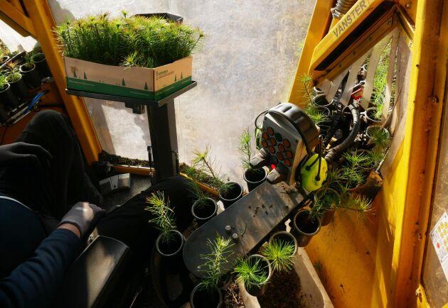 Gran- eller tallplantor spelar ingen roll. Men obehandlade plantor får inte sättas där det är för mycket humus.