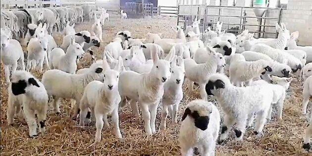 Här skuttar Sveriges dyraste lamm – kostar 50 000 styck