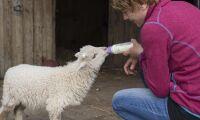 Får fick lamm efter svårt takras