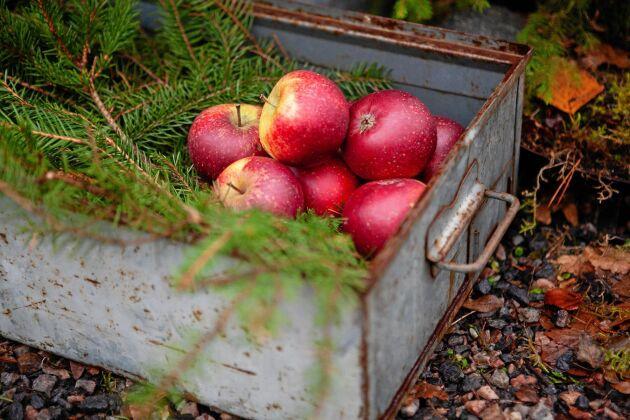Röda äpplen och granris i lådor blir fint och naturligt julpynt.