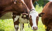Trodde kor var vildsvin – nu åtalas jägaren