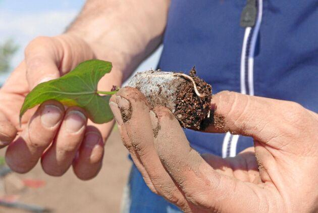 Sötpotatis sätts som planta.