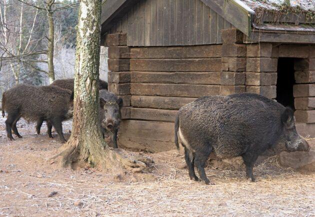 I hägn på gården finns i dagsläget 200 vildsvin. Om det krisar kan Skånska Vilt slakta något av de egna djuren.