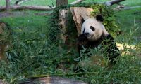 Bambuodling tar fart i Finland
