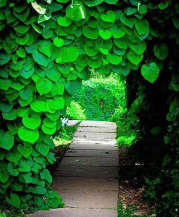Piprankans blad ligger överlappande som gröna taktegel.