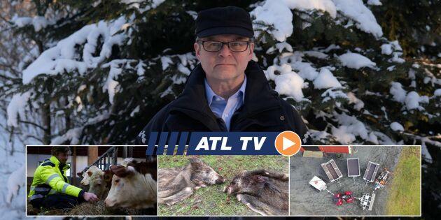 ATL TV: Säkrare ladugård efter branden