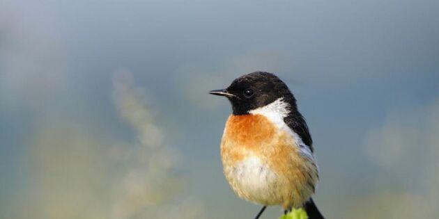 Sex nya fågelarter i Sverige!