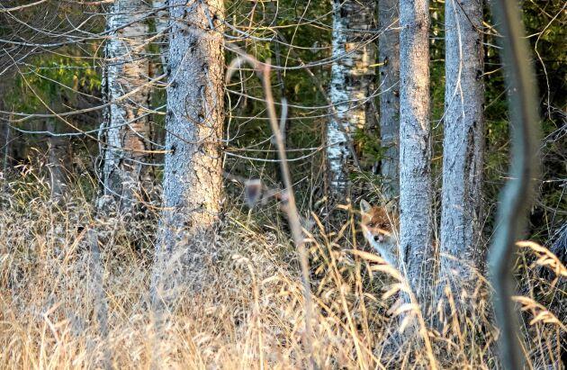 RÄV. Ofta har räven koll på dig och drar sig undan innan du ser den.