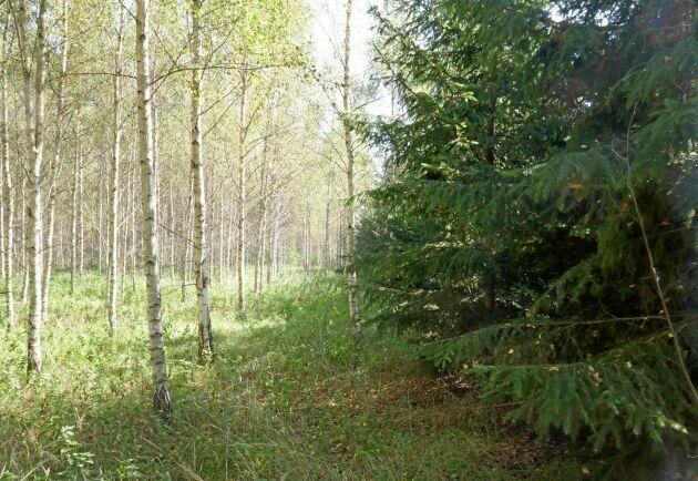 Mycket talar för att granskogens hälsotillstånd skulle förbättras med inblandning av björk.