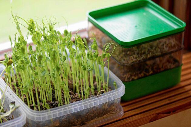 Gamla plastburkar blir utmärkta odlingslådor åt groddar på vintern.