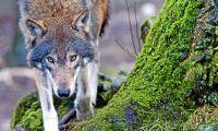 Skyddsjakt på närgången varg