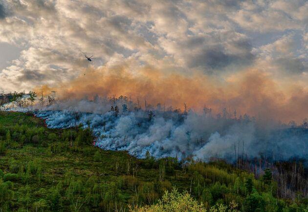 Efter en extremt varm vår och försommar uppges bränder härja nästan 1,5 miljoner hektar skog i Sibirien. Här vattenbombas en skogsbrand i närheten av Esso i Bystrinskiy-distriktet i juni.
