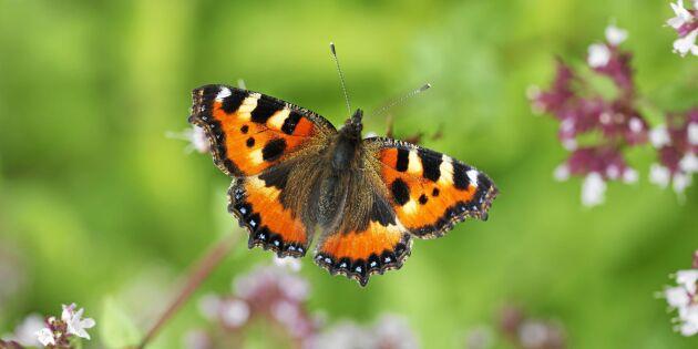 12 fjärilar i Sverige – så känner du igen dem