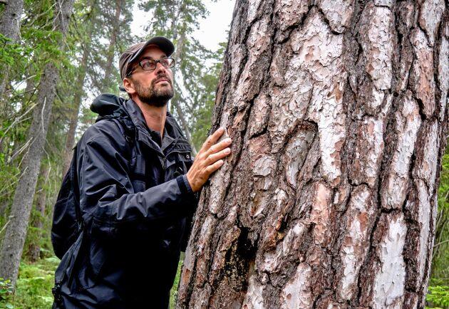 Före branden var gran väletablerad i området, men nu är det lövträd och tall som dominerar enligt Peder Curman, naturvägledare Tyresta nationalpark.