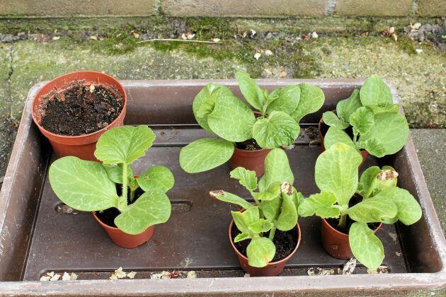 Låt plantorna vänja sig vid solen först innan de planteras ut.