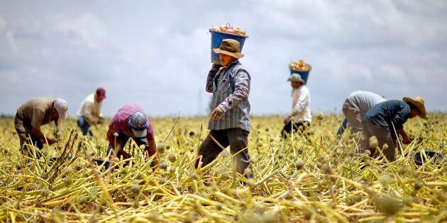 Pandemin stärker papperslösa i USA:s lantbruk