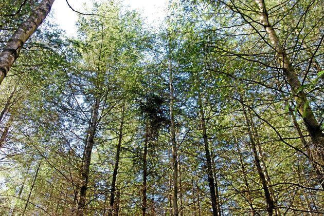 Douglasgran är en av de trädslag som FSC skärper kraven kring.