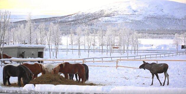 Svälten gör att älgarna vågar närma sig hagen trots att hästarna är kvar där.